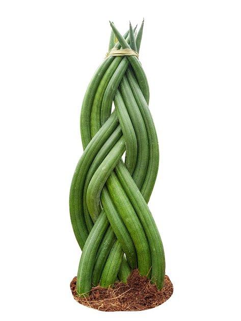Sansevieria cylindrica pěstovaná ve formě splétaného copu.