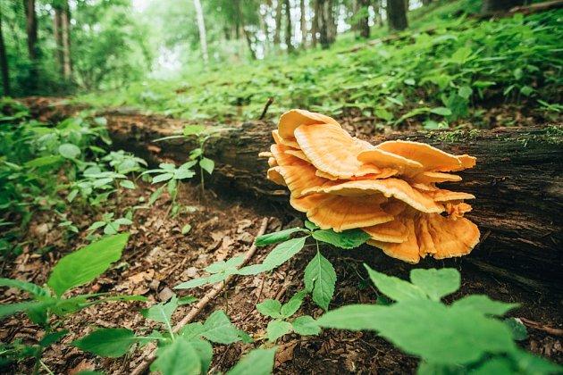 Sírovec roste i na tlejícím dřevě