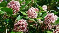 Skimmia japonica může mít i vonné květy