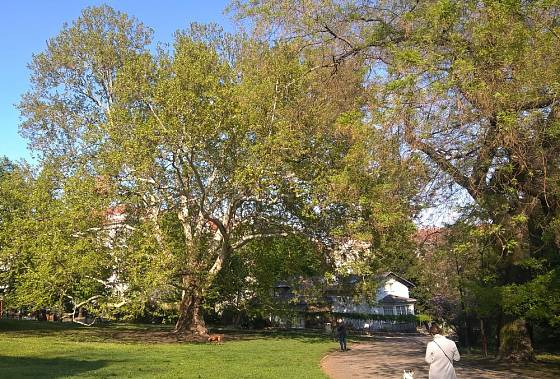 Platan javorolistý v zahradě Kinských je památný strom v Praze na Smíchově.