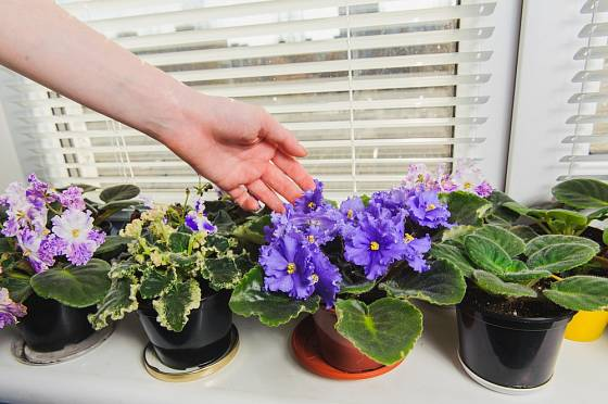Africké fialky vyžadují přistíněné místo, např. parapet východně či severně orientovaného okna.