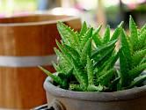 Hojivé účinky aloe vera jsou dobře známy