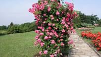 American Pillar (Fleet, USA, 1902). Jednoduchý, asi 5 cm velký květ s 5 plátky je tmavě růžový s bílým středem; výška růže 3,5 m. Jednou kvetoucí