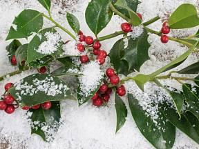 Cesmína ostrolistá je atraktivní i v zimních měsících.