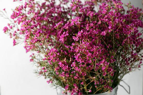 Opuč (Chamelaucium uncinatum) – růžové květy.