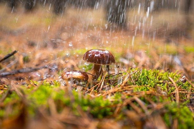 Houby rostou po dešti.