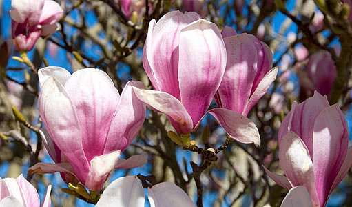 šácholan soulangeův (Magnolia soulangiana)