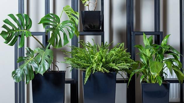 Velké nádoby těmto pokojovým rostlinám opravdu sluší.