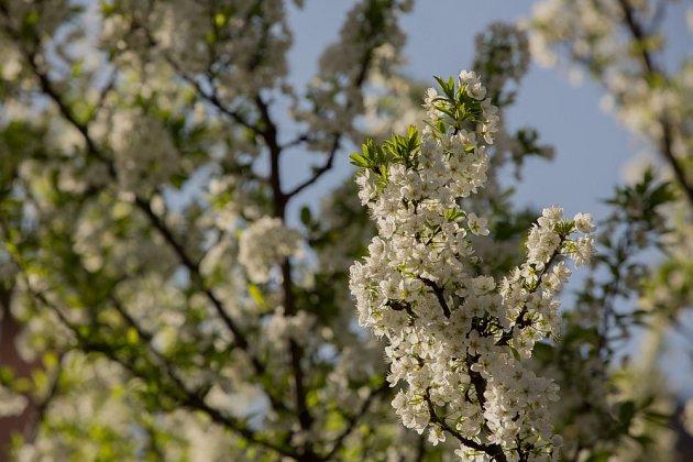 Mnoho květů, vždy neznamená velkou úrodu. Některé výhony je potřeba vylamovat.