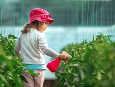 Rajčata se vyplatí postříkat mlékem s jódem