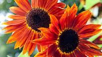 Slunečnice můžete pěstovat v řadě rozmanitých odrůd