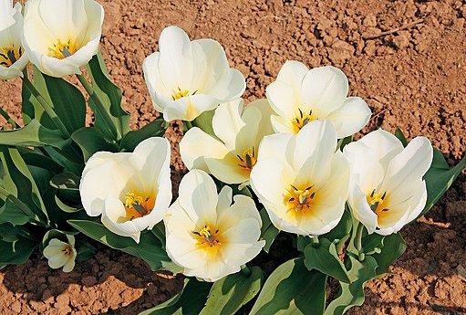 tulipány Purissima