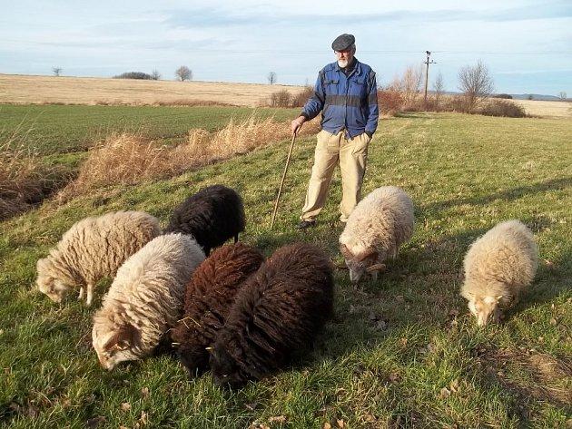 Quessantské ovce s chovatelem