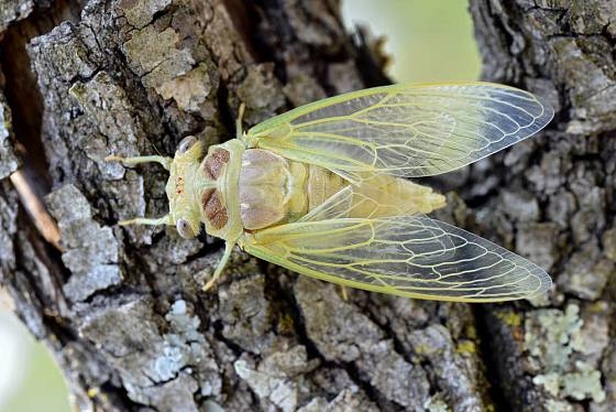 Mladá cikáda obecná (Lyristes plebejus).