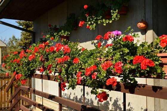 S bohatě kvetoucími muškáty se na podzim jen neradi loučíme.