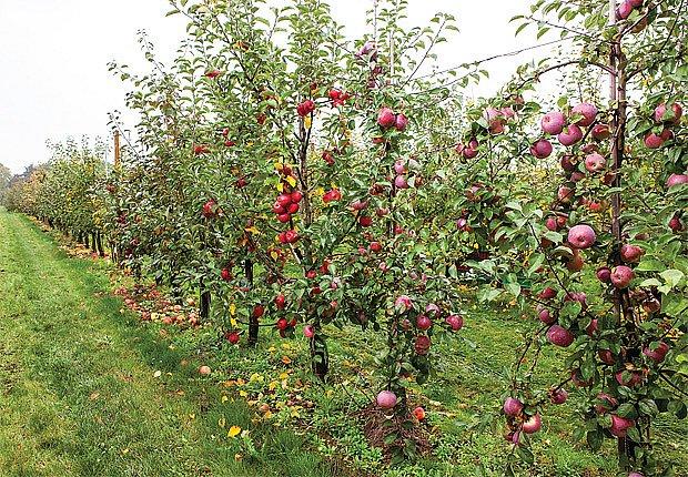 Šlechtitelský sad nových odrůd jabloní
