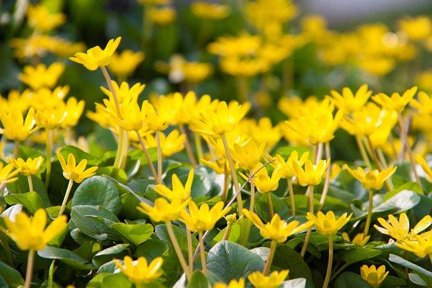 orsej je jarní půdopokryvná rostlina
