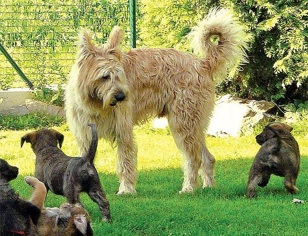 Pikardský ovčák