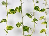 Šplhavnice zlatá (Epipremnum aureum) patří k oblíbeným pokojovým rostlinám.