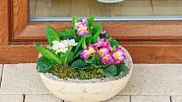 Miska osázená primulkami je skvělou jarní dekorací.