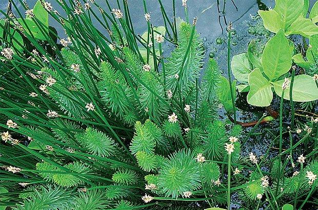 Prustka obecná (Hippurus vulgaris)