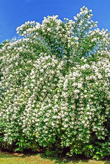 Klenuté větve pustorylu jsou na jaře obalené květy