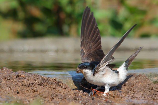 Jiřička sbírá bláto na stavbu hnízda