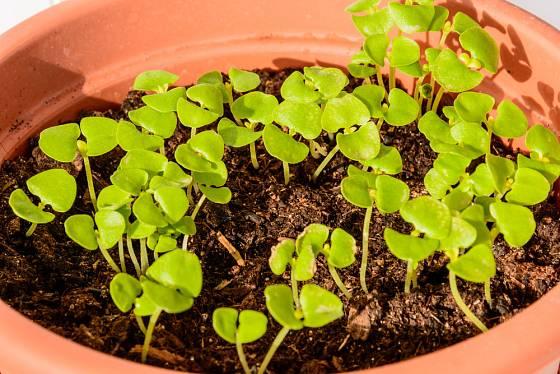 Tísnící se semenáčky protrhejte