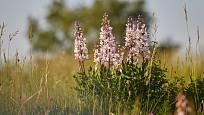 Třemdava bílá (Dictamnus albus) patří ve volné přírodě mezi naše ohrožené rostliny (C3).