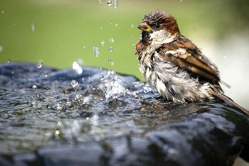 vrabec domácí u napajedla