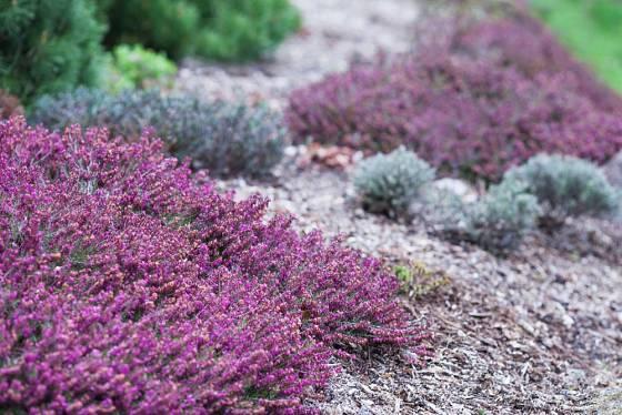 Zahradní vřesoviště může kvést téměř po celý rok