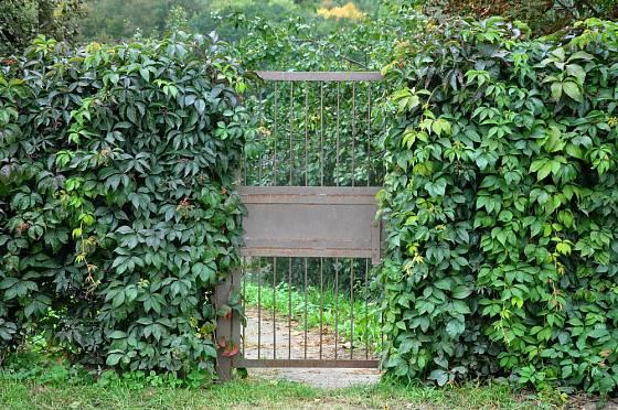 Živý plot může být jak stálezelený, tak opadavý.