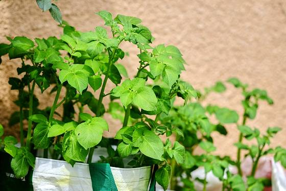 Pěstovat na balkóne můžete i brambory