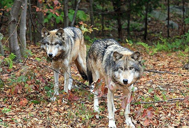 Vlci mají silný pečovatelský pud o mladé.