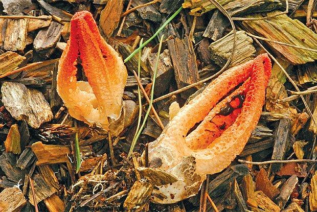 Houba Pseudocolus fusiformis, patřící do příbuzenstva našich hadovek
