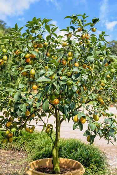 Kumkváty patří mezi velmi chutné ovoce, které se po umytí konzumuje i se slupkou.