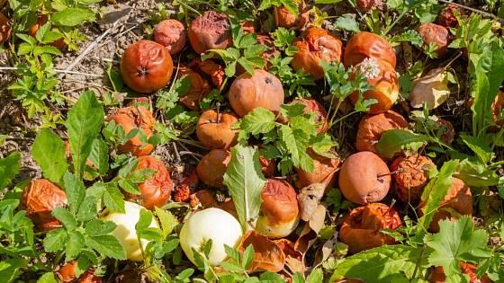 Jablka napadená moniliózou bychom měli co nejdříve zlikvidovat.