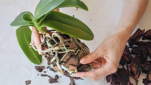 Z kořenů odstraníme opatrně původní substrát.