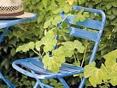 Nevyužívanou židli hbitě obsadily šlahouny polní okurky s malými plody