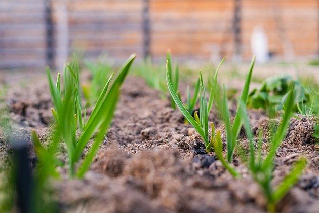 Vytvořte česneku lepší a vhodnější podmínky díky hnojivu.