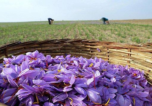 Šafrán je pěstován i na polích
