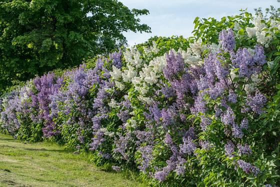 voňavý živý plot z kvetoucího šeříku