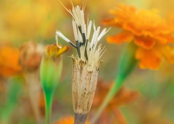 Semínka aksamitníků se vyplatí nasbírat a uschovat na další sezónu