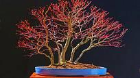 bonsaj - japonský javor