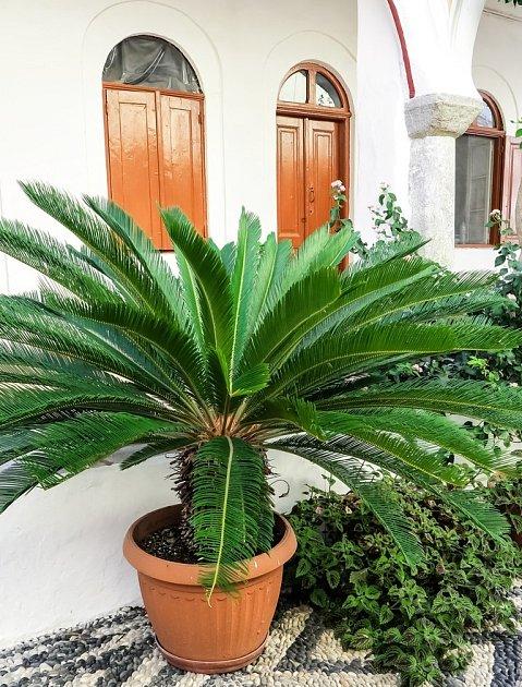 cykas zavinutý (Cycas revoluta)