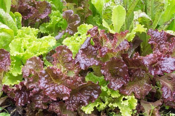 Kombinace barevných odrůd vypadají pěkně na záhonu i v salátové míse