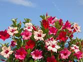 Rostliny z rodu Mandevilla patří k oblíbeným balkonovkám.