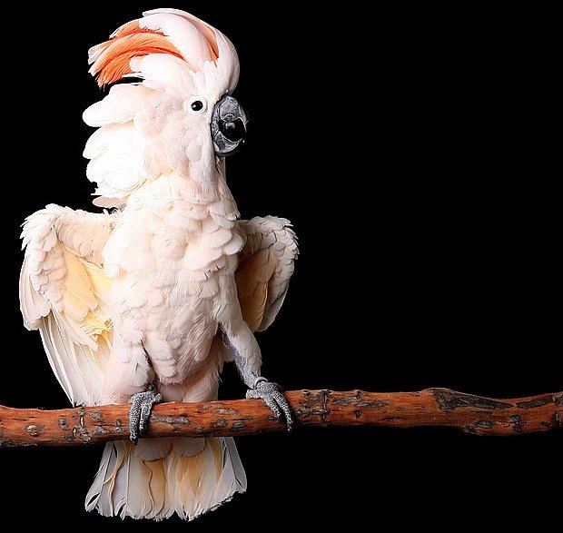 kakadu molucký (Cacatua moluccensis)
