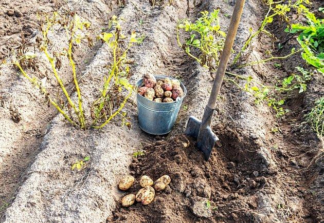 Nať brambor žloutne a polehává. Je čas na sklizeň.