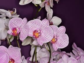 Orchidej je naprosto originální svým exotickým květem.